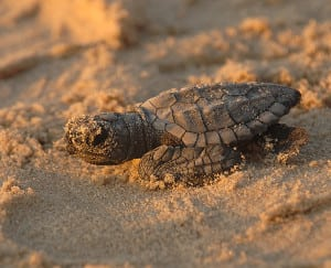 738px-Turtle_hatchling_close-up,_Texas_(5984381381)